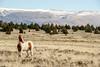 MalheurPaint-1 (David Renwald) Tags: juniper wildhorses mustangs wildmustangs painthorses seoregon steensmountains