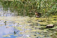 A duck in the Kamenka river, Suzdal, Russia (inchiki tour) Tags: travel fairytale river photo duck europe russia  suzdal 2014 goldenring     kamenka