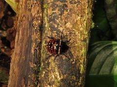 Doryphora sp., leaf beetle (Birdernaturalist) Tags: peru beetle manu coleoptera chrysomelidae