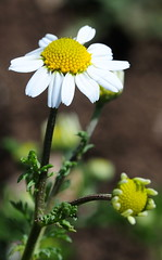 Anthemis cotula. Stinking Chamomile. (All Botanical Photography) Tags: asteraceae compositae anthemiscotula stinkingchamomile