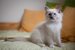 Honey (biely vlk) Tags: portrait pets cute love cat bed kitten flickr ragdoll canoneos5dmarkii