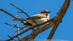 7K8A4392 (rpealit) Tags: bird nature scenery wildlife sp sparrow valley chipping kittatinny