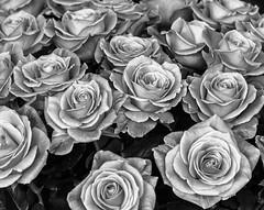 Eternal life (Robby van Moor) Tags: life roses white black rose flora eternal