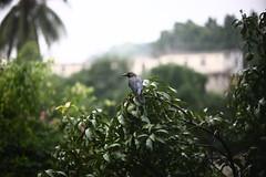 The Wet Neighbour (N A Y E E M) Tags: tree home rain fruit raw balcony earlymorning monsoon mango crow today untouched bangladesh unedited chittagong 1stfloor sooc rabiarahmanlane