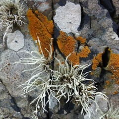 Carrick beachscape (Edinburgh Nette) Tags: beach rocks lichens ribbet april16 crustose foliose ramalina fruticose landcapdetails