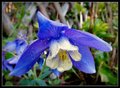 leider regnet es heute !!! (karin_b1966) Tags: plant flower nature garden blossom natur pflanze aquilegia blume blte garten 2016 akelei yourbestoftoday