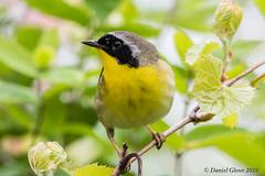 Common Yellowthroat Warbler (Geothlypis trichas) male (danielusescanon) Tags: ohio migration animalplanet geothlypistrichas commonyellowthroatwarbler birdperfect
