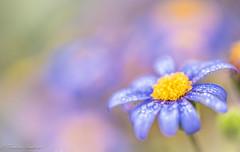 in the blue.... (frederic.gombert) Tags: flowers blue light sun flower color macro colors rain yellow nikon soft dof sweet bokeh droplet raindrop 105mm greatphotographers d810