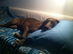 Disco nap (VanaTulsi) Tags: dog weimaraner weim blueweimaraner vanatulsi blueweim