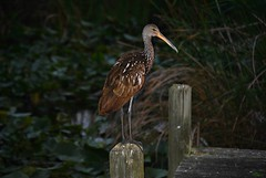 Limpkin...Chillin' in the Evening (Gio-Photography) Tags: nikon dslr users d3000