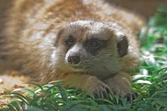 National Zoo  (1316) (smata2) Tags: zoo nationscapital smithsoniannationalzoo itsazoooutthere zoosofnorthamerica