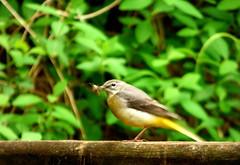 Grey wagtail at Dolgoch Falls (Sue Wolfe) Tags: flowers nature birds wales landscapes westwales wildlife cymru wildflowers ceredigion montgomeryshire meirionnydd dyfiestuary dyfi dysynni dysynnivalley welshwildlifebreaks dyfibiosphere dyfiospreyproject