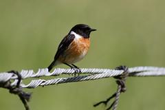 _F0A9161.jpg (Kico Lopez) Tags: birds rio spain aves galicia lugo mio saxicolarubicola tarabillaeuropea