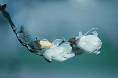 White Magnolia (lfeng1014) Tags: flower macro closeup spring dof bokeh depthoffield magnolia macrophotography whitemagnolia lifeng  canon5dmarkiii 100mmf28lmacroisusm
