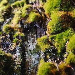 tiny mosshills #exploring #adventure #hiking #nature... (szellner) Tags: plants macro tree nature moss hiking exploring spiderweb adventure sequoia sequoianationalpark macrophotography naturelovers instanature uploaded:by=flickstagram instagram:photo=11017041660010569731442850998
