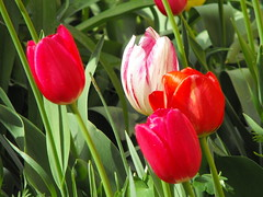 Tulips (Stella VM) Tags: flowers red garden tulips