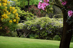 The Manor House Open Garden - Surrey (Mark Wordy) Tags: surrey rhododendron wisteria ngs nationalgardensscheme haslemere opengarden themanorhouse