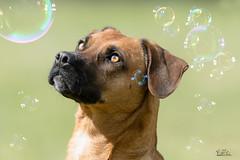 Bubbel Dreams (Claudia Brockmann) Tags: dog dogs animal animals tiere hund 1001nights hunde tier bubbels seifenblasen