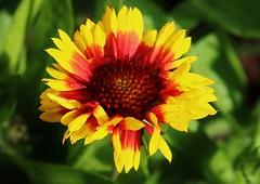 Flower (Hugo von Schreck) Tags: flower macro outdoor blume makro blte onlythebestofnature tamron28300mmf3563divcpzda010 canoneos5dsr hugovonschreck