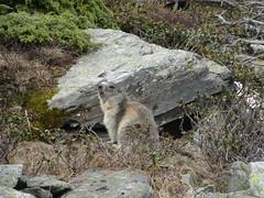 DSC01863 (bleausard2) Tags: marmot murmeltier marmotte mungg