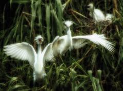 Loves Guiding Light (enorte2001) Tags: bird nature beautiful texas taylor egrets ernestonortecom