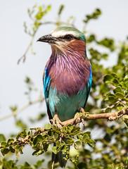 2016-02-06 at 15-26-46 - IMG_4423 (nosbarbj) Tags: africa tanzania wildlife favorites 2016 lilacbreastedroller tarangirenationalpark canon5dmarkii 2016africansafari