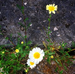 tiny flowers (ekelly80) Tags: portugal amonde june2016 summer minho vianadocastelo countryside scenery flowers tinyflowers yellow white lookdown rock