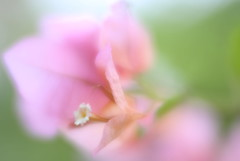 Lensbaby Velvet (GR167) Tags: bougainvillea highkey 5d canon lensbaby bokeh