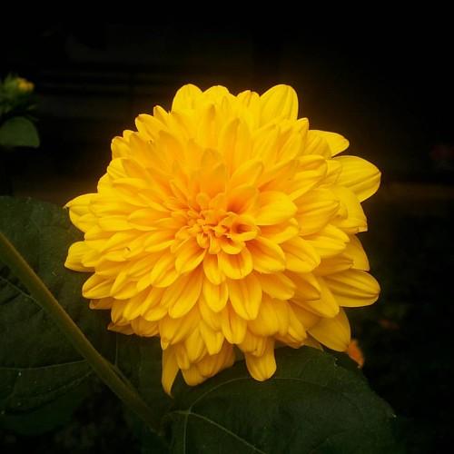 #nofilter #flower #backyard #summer