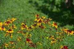 fiori (ecordaphoto) Tags: flowers flower nature nikon natura fiori boken 55300 d5100