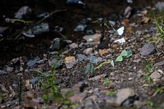 Butterflies meeting (Crones) Tags: canon 6d canoneos6d canonef70200mmf28lisusm canon70200mmf28l 70200mmf28lisusm 70200mmf28 70200mm f28l czech czechrepublic praha prague butterfly