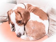 Basil (juliagooding) Tags: dog pet indoor beagle