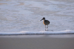 Waders (shama rama) Tags: northcarolina surfcity topsail beach sunrise nc waders
