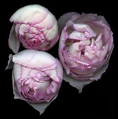Romantica (Jazz Jumper) Tags: romantic roses flowers blooms pink beautiful sensual trio posy blossom flora botanical yvespiaget vogue