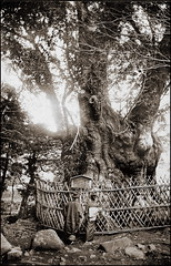 The Sacred Tree (ookami_dou) Tags: vintage japan  yokohama  sacredtree shinboku  tree botany