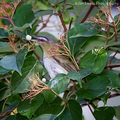 Red-eyed Vireo (jklewis4) Tags: fauna berry redeyedvireo warbler eating snacking