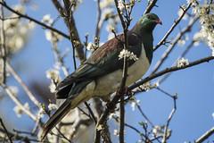 NZ Native wood pigeon (bluepoppynz) Tags: pigeon nativebird newzealand plumblossom canon7dmkii 100400mm