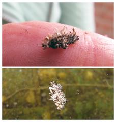 Schietmot larve kokerjuffer (Olga and Peter) Tags: kokerjuffer schietmot caddisfly larva fimg1483140