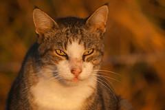 Warming Up (Luis-Gaspar) Tags: animal cat gato streetcat gatoderua feline felino portrait face retrato outdoor beach praia light sunlight sunriselight luz luzsolar luzmatinal portugal oeiras nikon d60 55300 f8 1320 iso400