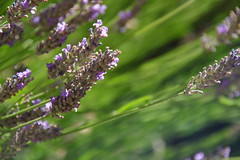 Summer Perfume (mikkelfrimerrasmussen) Tags: paca provence france alpes lavender lavendel blomster flowers