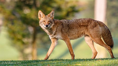 Coyote - walking on the Olympic Golf Course (Bob Gunderson) Tags: california coyotes grandvistacanel lakemerced mammals northerncalifornia sanfrancisco wildlife