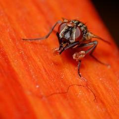 DSCF0886_ (faki_) Tags: fuji fujifilm xe1 fujinonxf60mmf24rmacro 60 24 ooc velvia rovar insect lgy fly