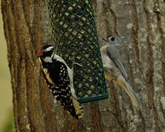 They Love there........ (l_dewitt) Tags: tuftedtitmouse tuftedtitmousephotos downywoodpecker titmouse titmouseimages woodpecker woodpeckerimages backyardbirds backyardwildlife backyardbirdwatching