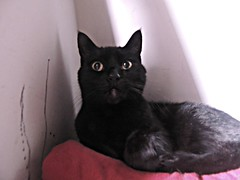 Surprised (knightbefore_99) Tags: cat gato chat noir black kitty negro surprise blanket sun ray red light resting nap bed eyes pretty love best cc4000 cc100