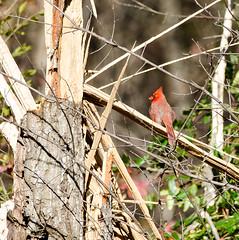 cardinal (long.fanger) Tags: cardinal
