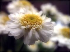 őszi margitvirág (Tölgyesi Kata) Tags: macro whiteflower autumn botanikuskert botanicalgarden withcanonpowershota620 füvészkert őszimargitvirág tanacetumparthenium feverfew featherfew blossom ősz