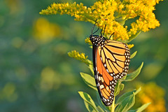 Acrobatic Lunch (NaturalLight) Tags: butterfly feeding monarch kansas migration wichita chisholmcreekpark ksccna9401