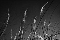 The old days (HariRaj Ji) Tags: grass weed nikon grain r25a harirajji