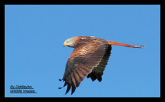 Red Kite . (Diddley Bo) Tags: