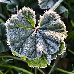 Frosty Leaf (Pat's Pics36) Tags: california cold leaf frosty acton encore thousandtrails soledadcanyon nikond7000 nikkor18to200mmvrlens soledadcanyonthousandtrails